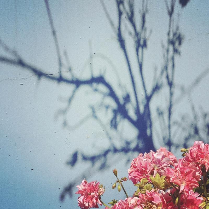 pink geraniums © Diana Koenigsberg 2013