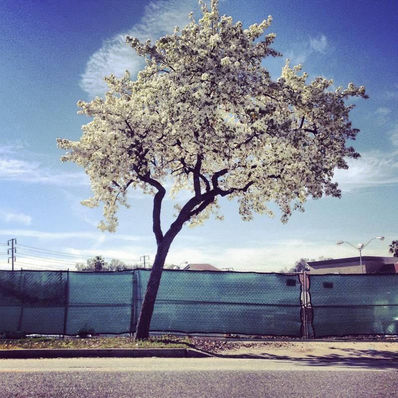 Natchez Crape Myrtle - DIANA KOENIGSBERG Copyright 2013