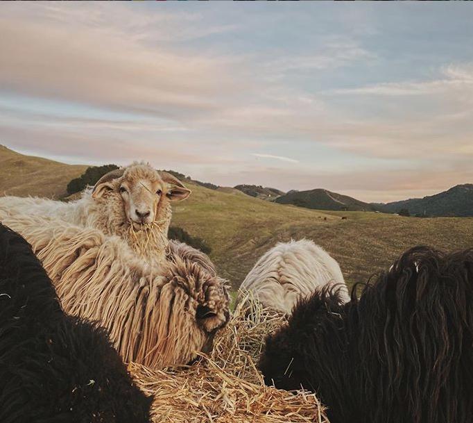 Eric and Christa's sheep, copyright Christa Renee